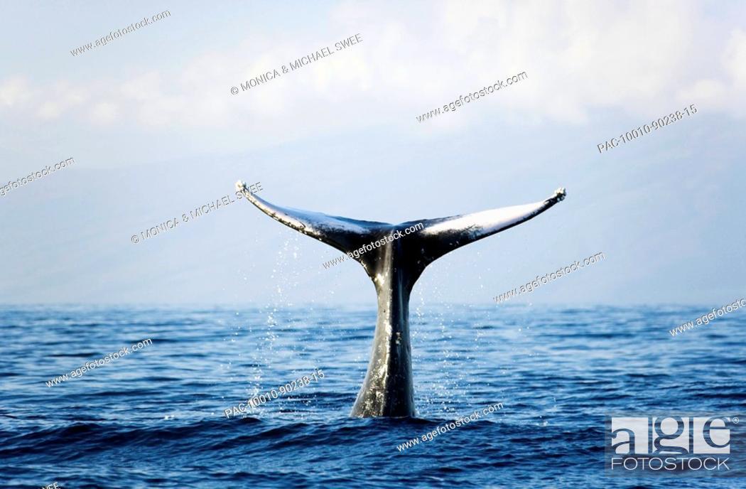Stock Photo: Hawaii, Maui, Humpback Whale Megaptera novaeangliae tail fin.