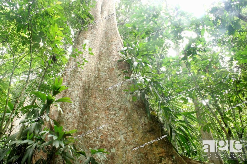 Stock Photo: Tree in tropical rainforest, Henri Pittier National Park, Venezuela.