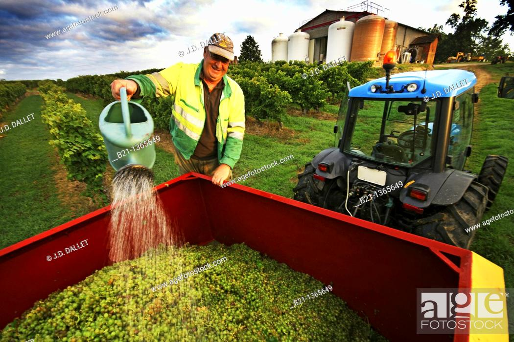 Stock Photo: Enzyming legal process of the wine grapes fruits, before the pressing, to make the famed armagnac at Domaine de Mouréou, Mauleon d'Armagnac, Gers, Midi-Pyrenees.