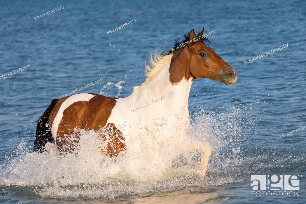 Stock Photo: Paint Horse. Skewbald horse trotting in the sea. Egypt.