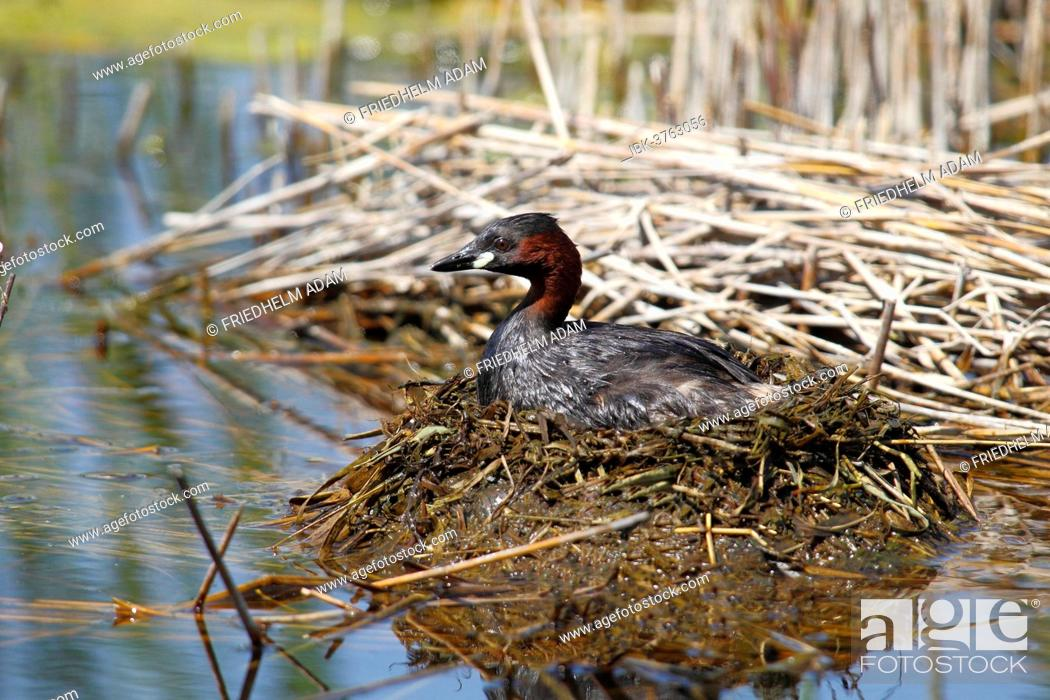 Stock Photo: Little Grebe (Tachybaptus ruficollis) perched on the nest, Burgenland, Austria.