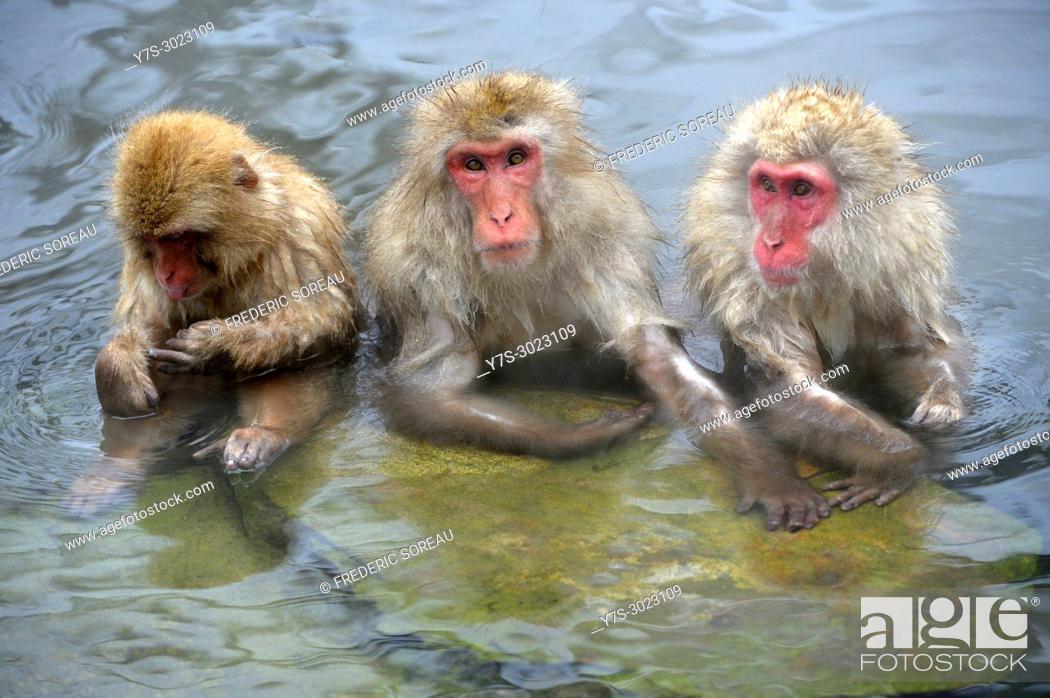 Stock Photo: Japanese Macaque snow monkey at Jigokudani Monkey Park near Nagano,Honshu,Japan,Asia.