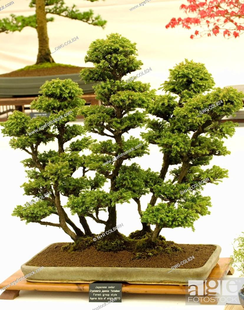 Bonsai Tree Japanese Cedar Cryptomeria Japonica Yatsubusa Forest Group Style Stock Photo Picture And Rights Managed Image Pic Gwg Col824 Agefotostock