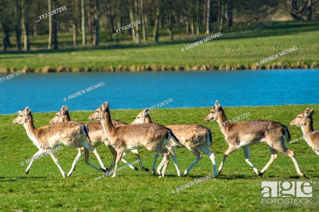 Photo de stock: Herd of Fallow deer next to Holkham park lake, Holkham Hall, North Norfolk, East Anglia, England, UK.