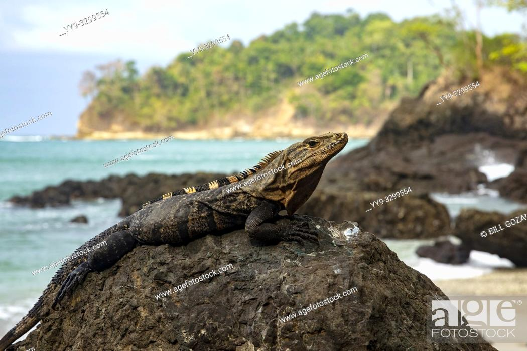 Stock Photo: Black spiny-tailed iguana (Ctenosaura similis) - Playas Gemelas Beach, Manuel Antonio National Park - Quepos, Costa Rica.