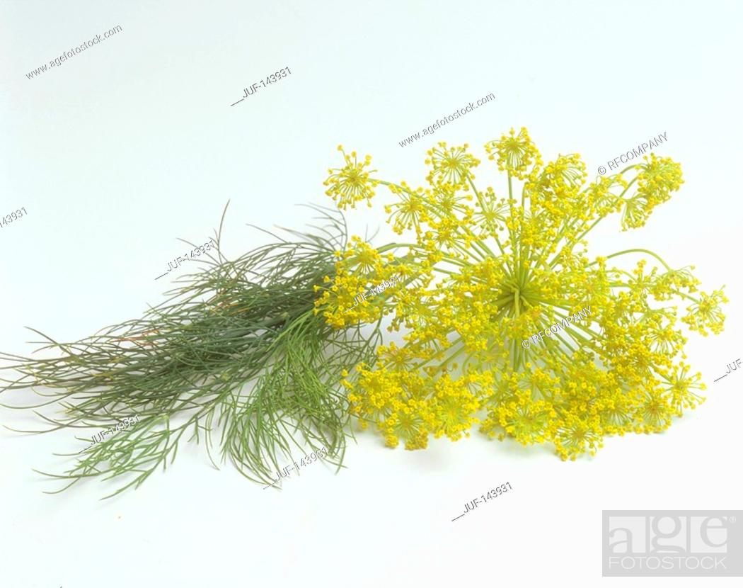 Stock Photo: dill / Anethum graveolens.