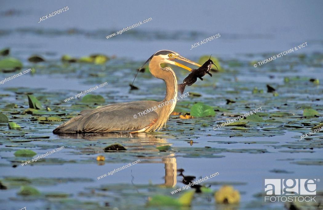 Stock Photo: Great Blue Heron Ardea herodias catches brown catfish/bullhead amid lily pads, spring, Burnaby Lake, British Columbia, Canada.