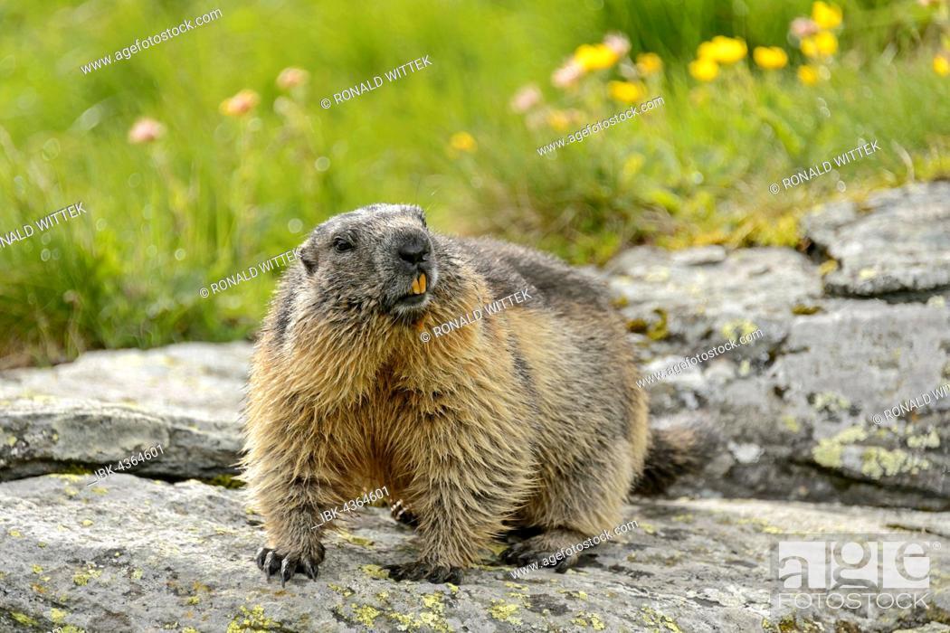 Photo de stock: Alpine marmot (Marmota Marmota) on rock, High Tauern National Park, Austria.