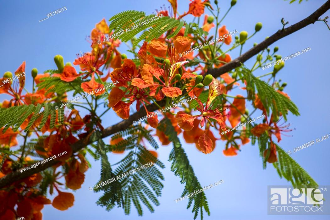 Stock Photo: Krishnachura (Delonix regia) is a species of flowering plant in the bean family Fabaceae, It is noted for its fern-like leaves and flamboyant display of flowers.