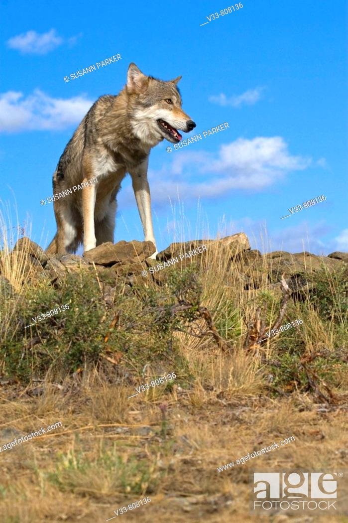 Stock Photo: A Gray Wolf lays ontop of a rocky hill to get a better view.