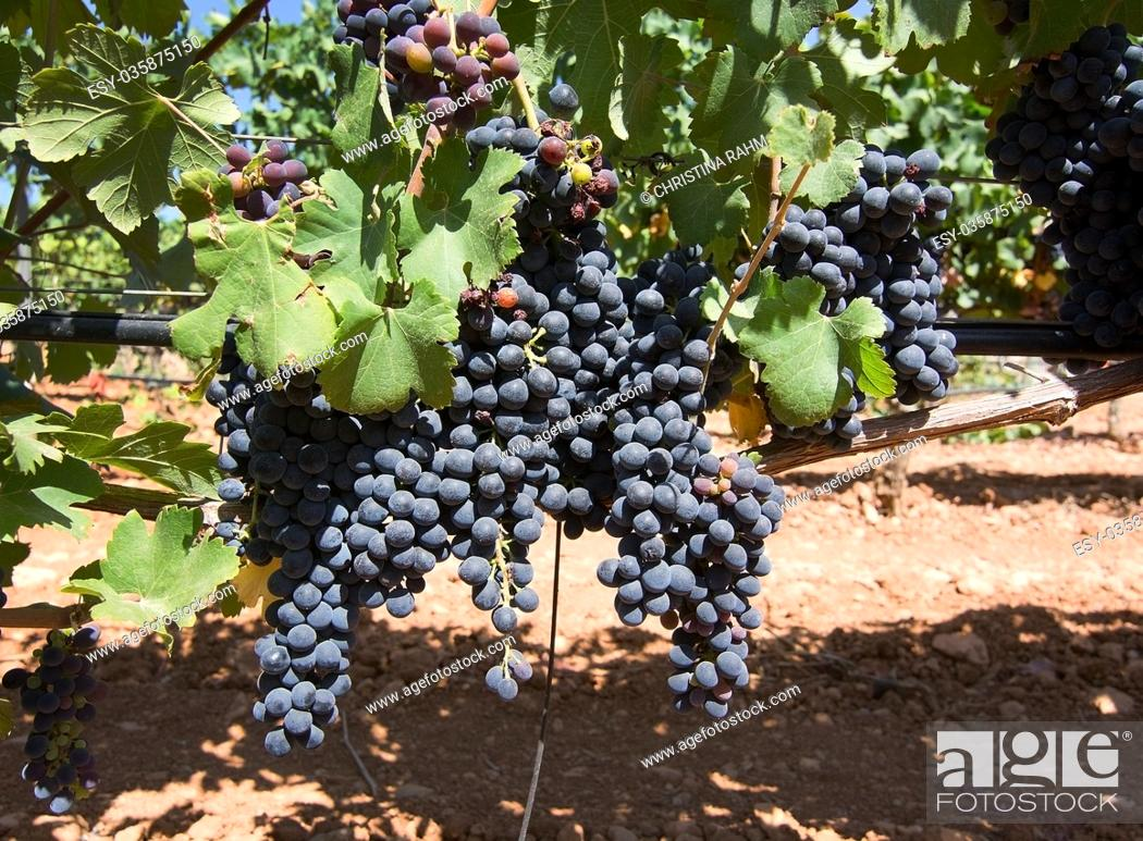 Stock Photo: Grapes ripening on stock in a Mallorca vineyard on a sunny day in Mallorca, Spain.