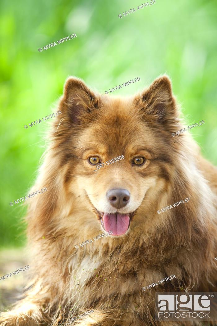 Stock Photo: Expressive face of a Finnish Lapphund dog.