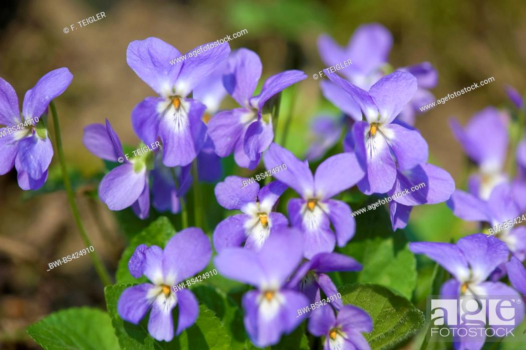Stock Photo: Hairy violet (Viola hirta), flowers, Germany.