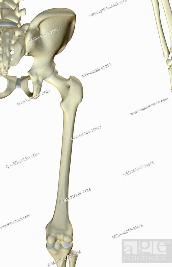 Stock Photo: The bones of the hip and lower limb.