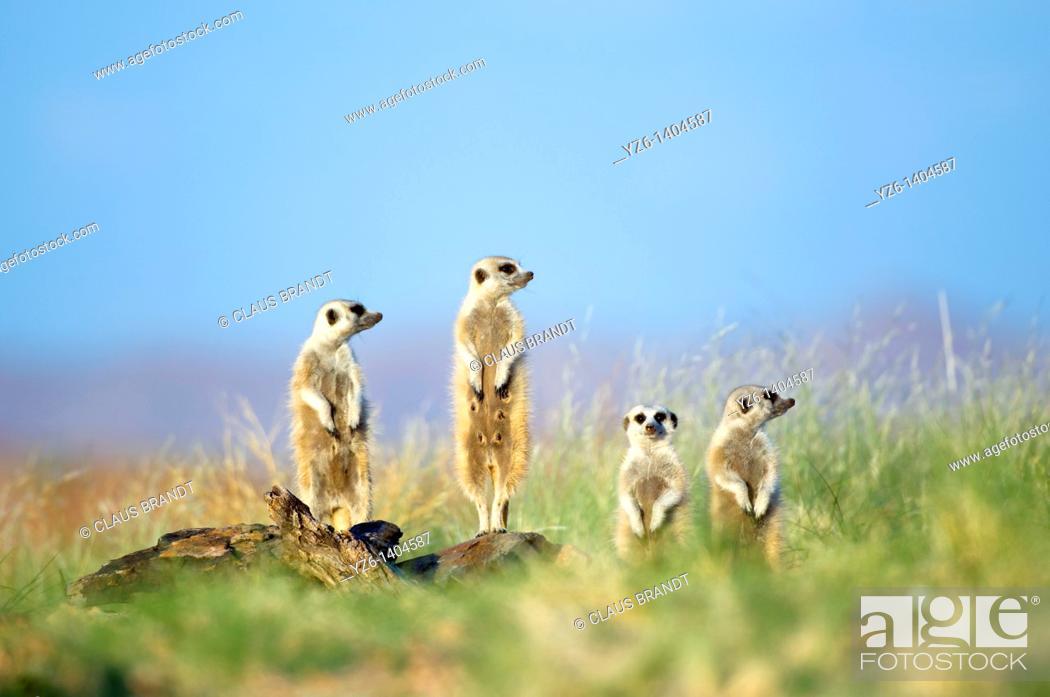 Stock Photo: Meerkats (Suricata suricatta) observing the area standing on the granite rocks of their den near Gaub canyon, Namibia.