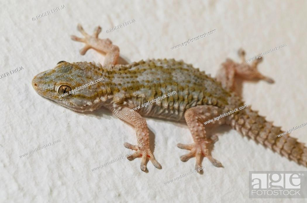 Stock Photo: Moorish Gecko Tarentola mauritanica stalking insects on an outdoors wall by night, Spain.
