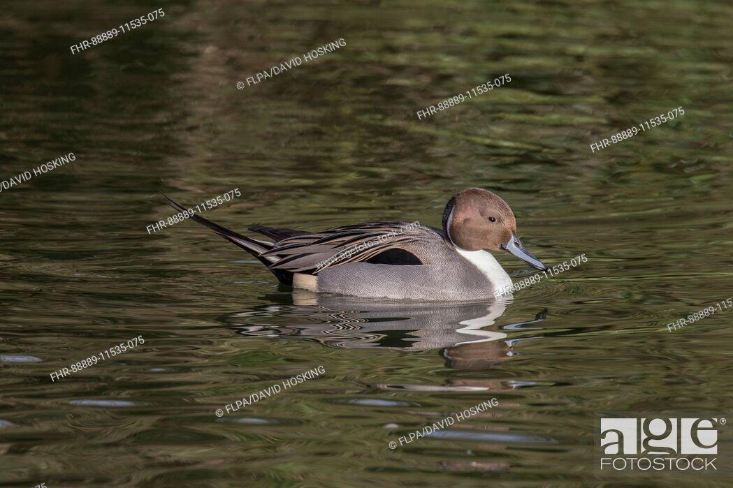 Stock Photo: Pintail duck, male - captive bird.