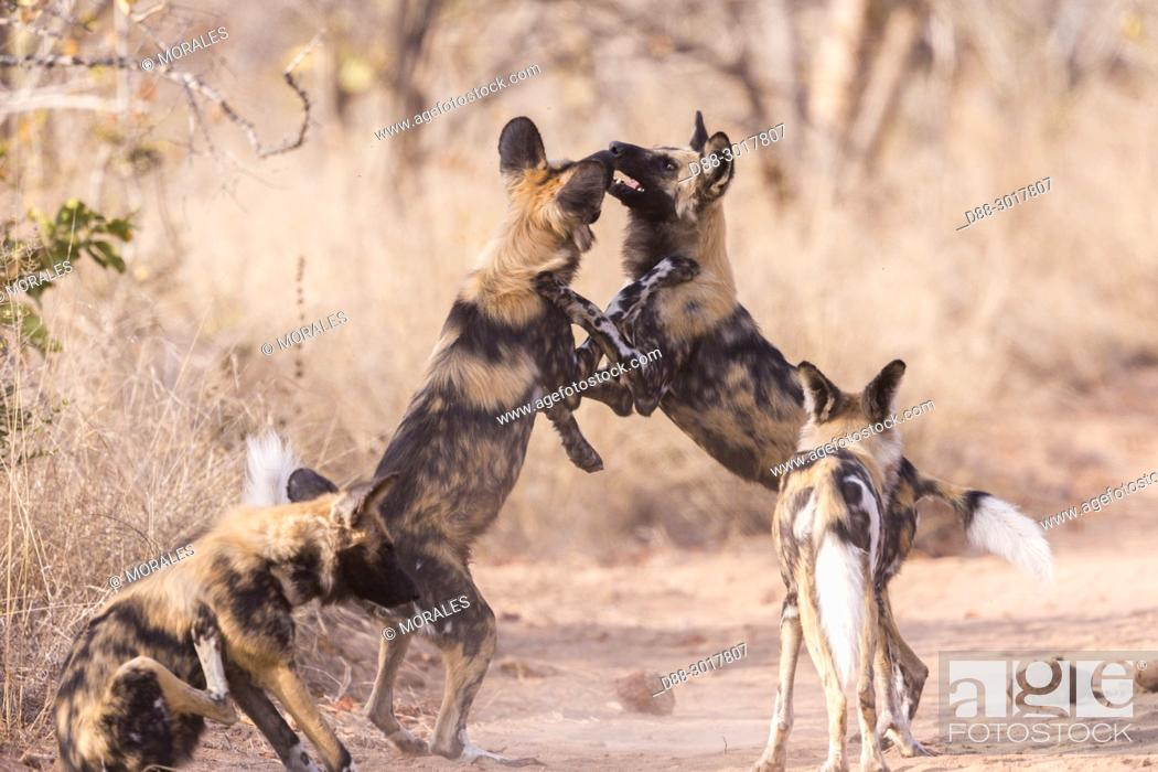 Stock Photo: Africa, Southern Africa, South African Republic, Mala Mala game reserve, African wild dog or African hunting dog or African painted dog (Lycaon pictus), adults.