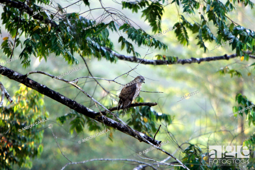 Stock Photo: Hawk. Maquenque National Park. Costa Rica.