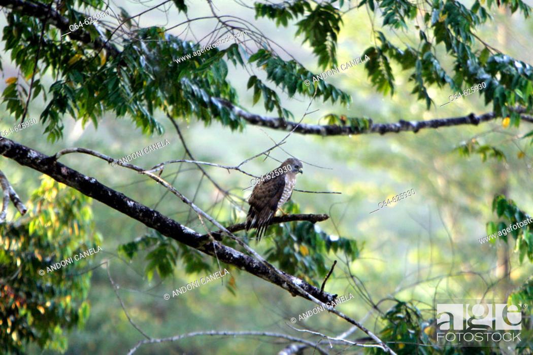 Stock Photo: Hawk. Maquenque National Park. Costa Rica.