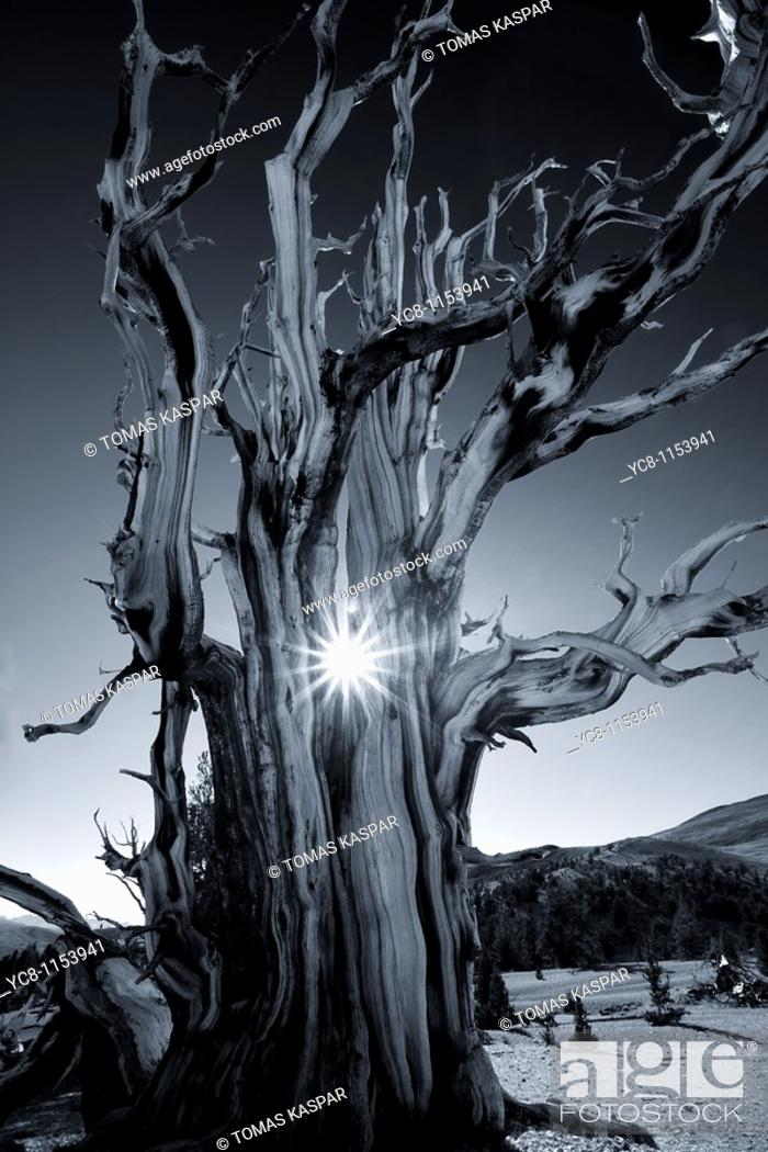 Stock Photo: Magnificent and ancient Bristlecone pine tree at sunset with the sun peeking thru it's branches.