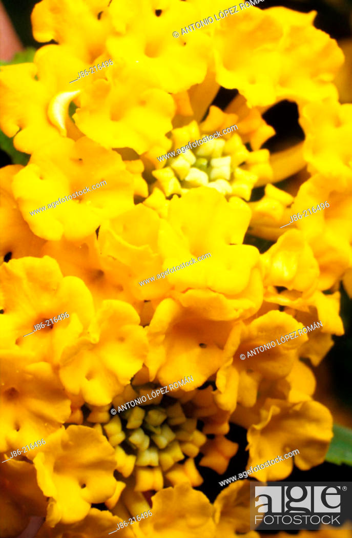 Stock Photo: Common Lantana (Lantana camara).