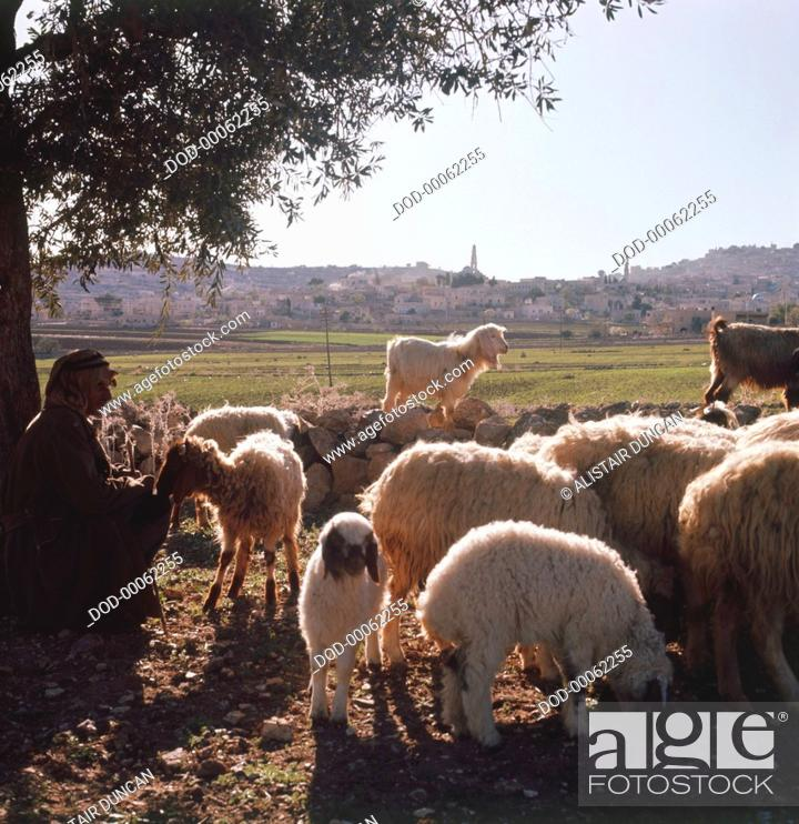 Imagen: Flock of sheep and goats grazing in Judea, West Bank, Israel, shepherd sitting under tree, city in background.