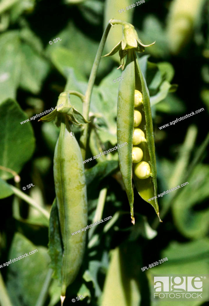 Stock Photo: PISUM SATIVUM  Peas in pod and bursting on plant ready for picking.