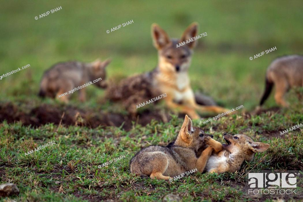 Stock Photo: Black-backed jackal pups aged 4 weeks playing (Canis mesomelas). Maasai Mara National Reserve, Kenya. Aug 2011.