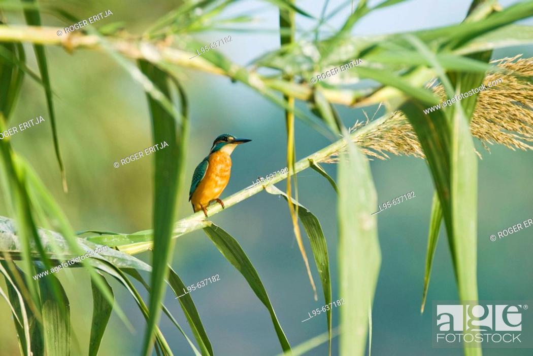 Stock Photo: Kingfisher (Alcedo atthis), Spain.