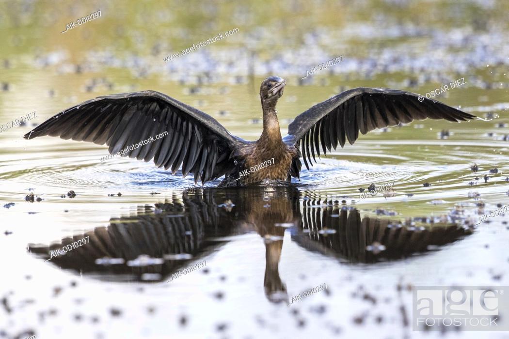 Stock Photo: Pygmy Cormorant; Microcarbo pygmaeus.