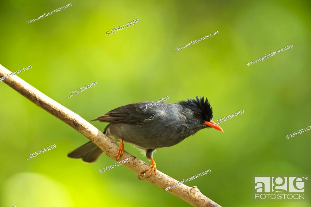 Imagen: Square-tailed bulbul, Hypsipetes ganeesa, Western Ghats, India.