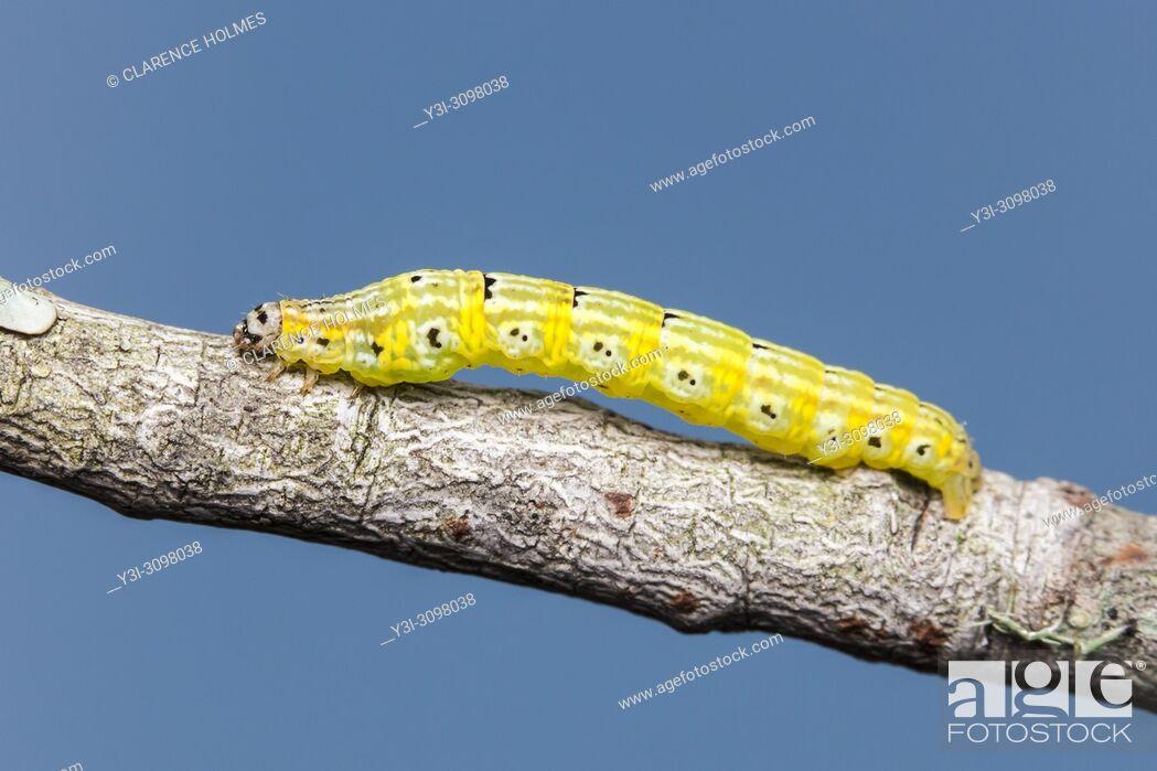 Stock Photo: Geometrid Moth (Episemasia cervinaria) caterpillar (larva).