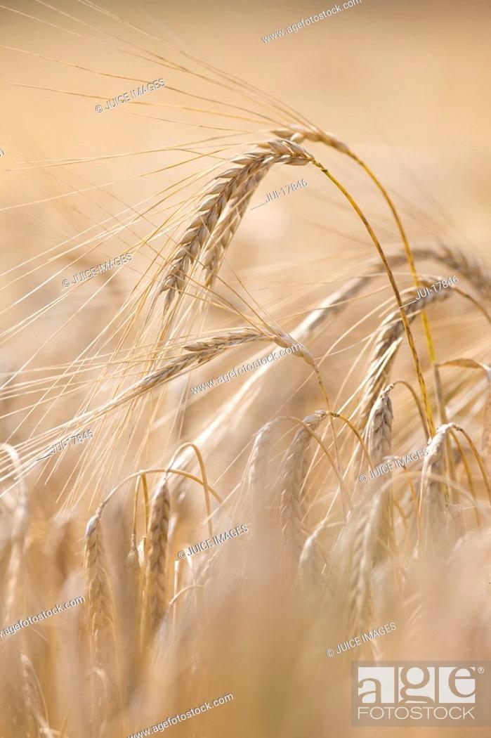 Stock Photo: Close up of barley stalks.