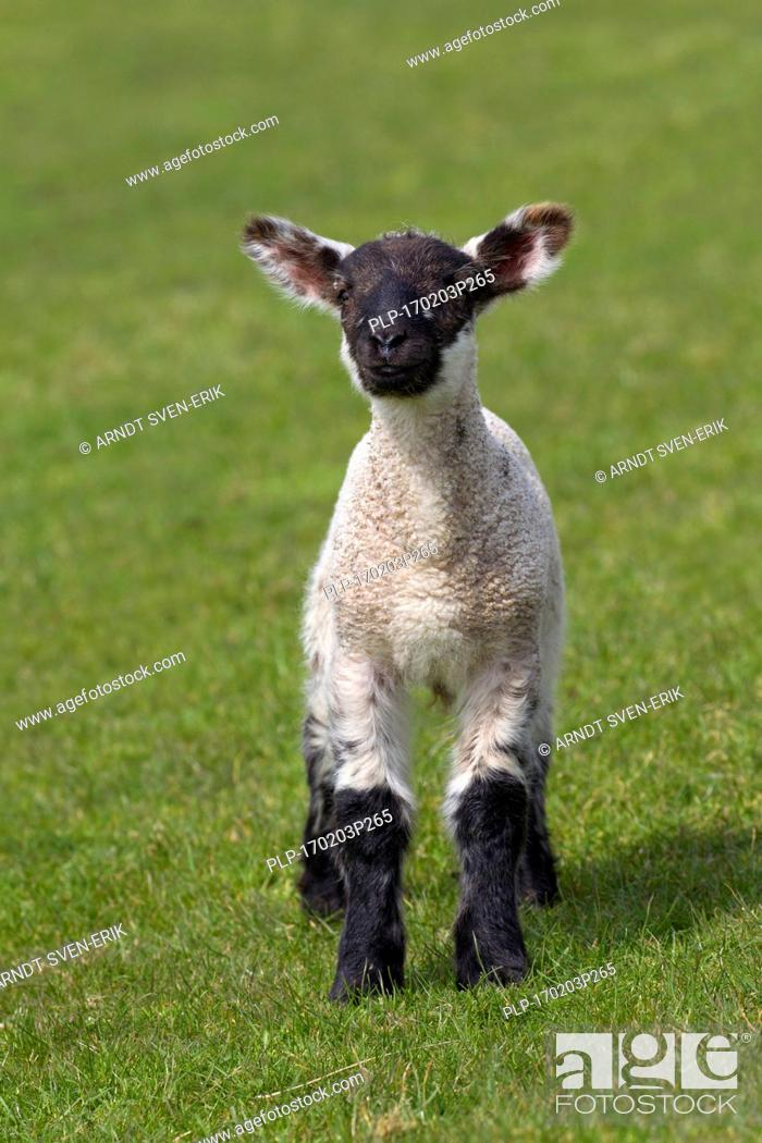 Stock Photo: Black and white domestic sheep lamb in meadow, North Frisia, Schleswig-Holstein, Germany.