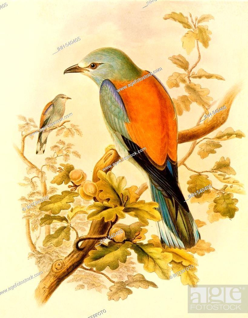 Stock Photo: zoology, birds, European Roller Coracias garrulus colour lithograph, 'The Birds of Great Britain' by John Gould, 1862 - 1873, private collection, bird, animal.
