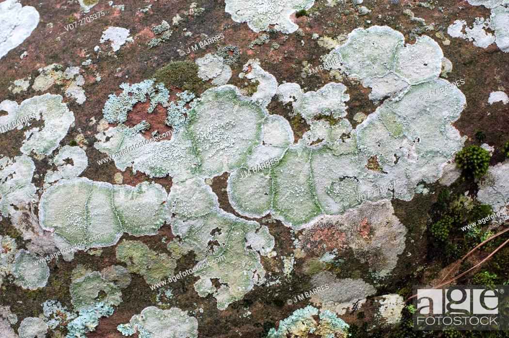 Imagen: Pertusaria pertusa is a crustose lichen. Ascomycota. Pertusariaceae. This photo was taken in Sierra de Albarracin, Teruel, Spain.