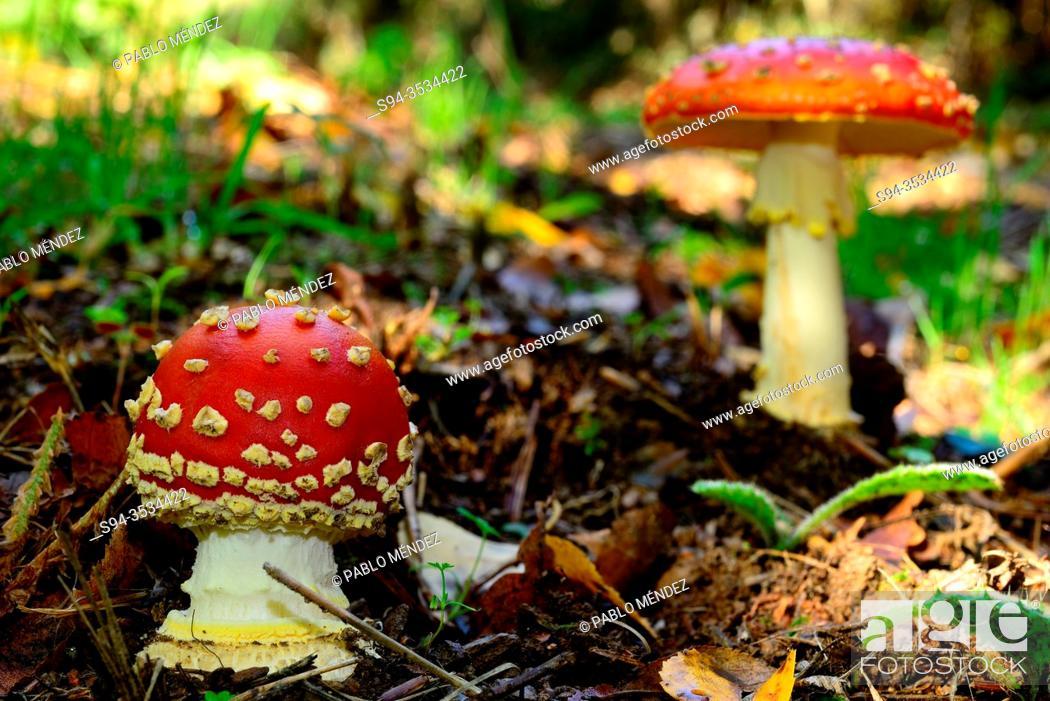 Imagen: Red mushrooms (Amanita muscaria) in a wood of Celeiron, Castro Caldelas, Orense, Spain.