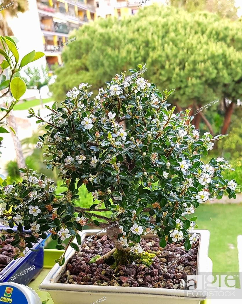 Imagen: Cotoneaster Evergreen Flowering Bonsai Tree. Cotoneaster microphyllus is a fully frost hardy evergreen variety with tiny little leaves.