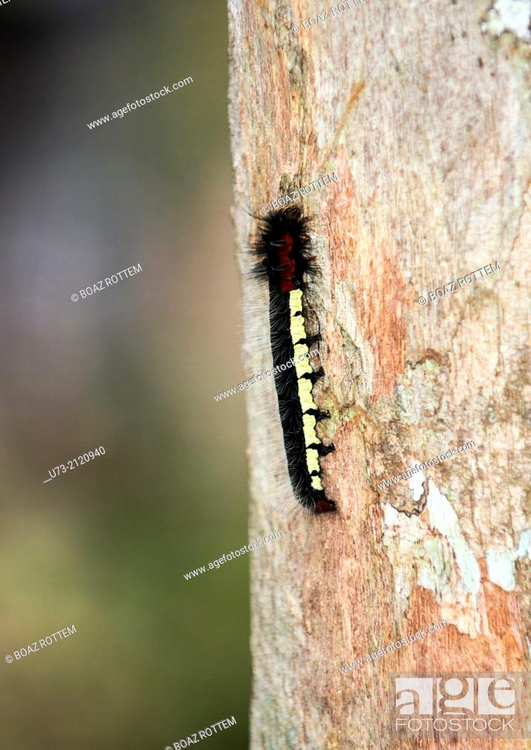 Stock Photo: A Centipede climbing a tree in Andasibe forest in Madagascar.