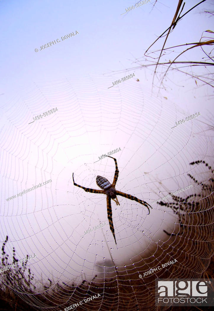 Stock Photo: Field spider early in the morning.