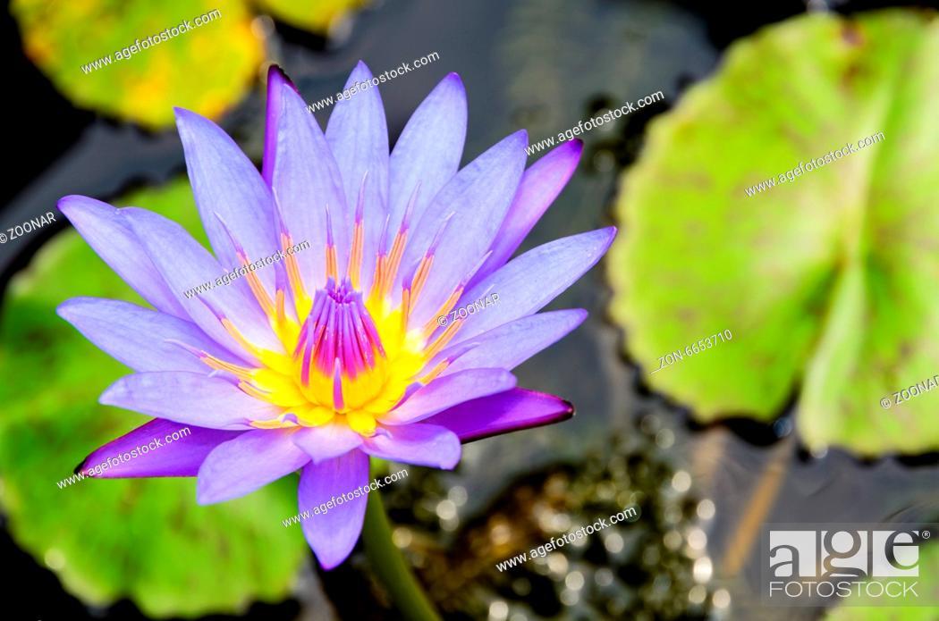 Stock Photo: Purple Lotus flower ( Nymphaea Nouchali ).