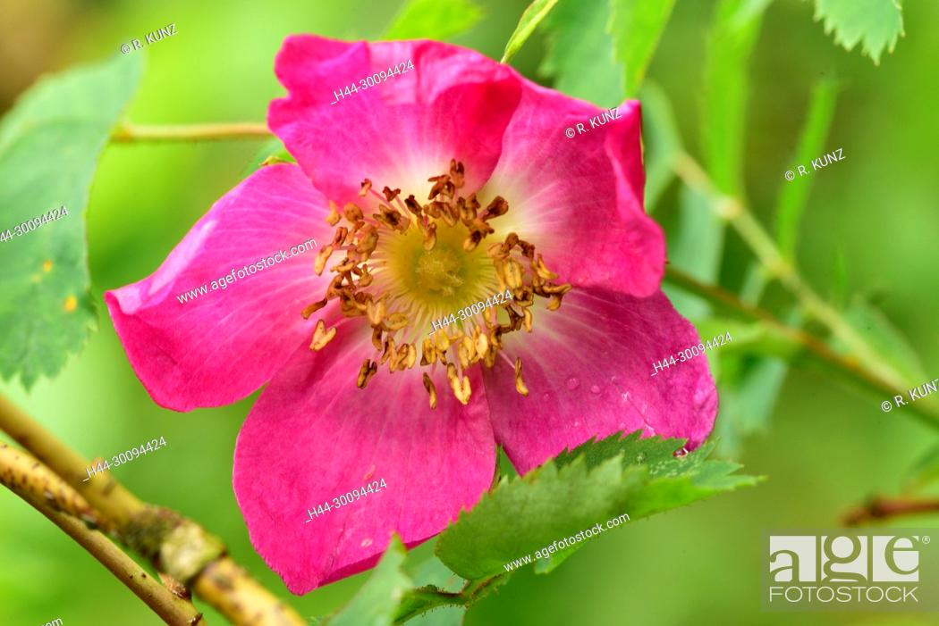Stock Photo: Alpine Rose, Rosa pendulina, Rosaceae, blossom, rain drops, shrub. plant, near Sarn, Heinzenberg, Alps, Canton of Graubünden, Switzerland.