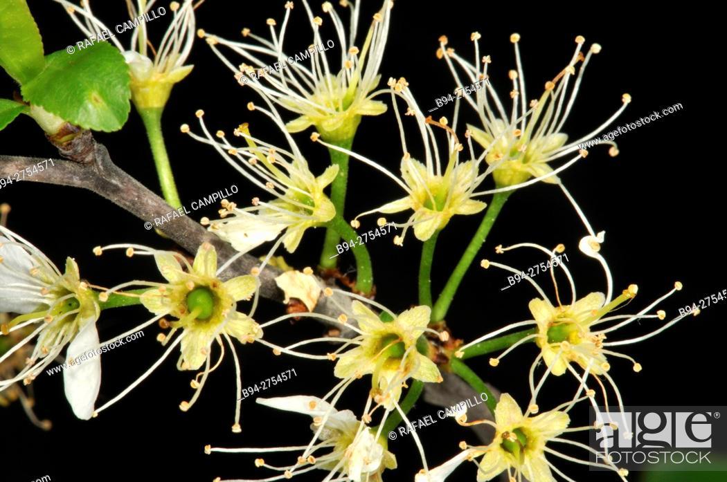 Stock Photo: Prunus spinosa flowera, Blackthorn or Sloe. Fam. Rosaceae. Turo del Putget Park. Barcelona. Catalonia. Spain.