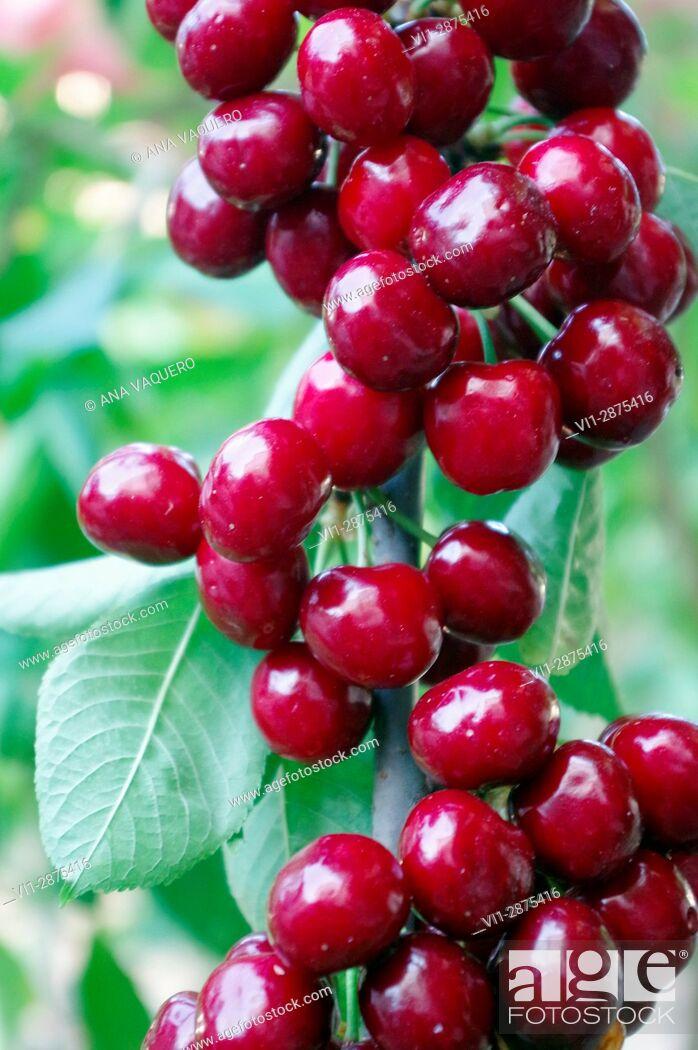 Stock Photo: Cherries of the Jerte Valley, Cáceres, Estremadura.