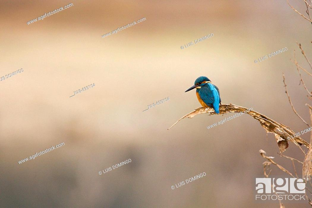 Stock Photo: Kingfisher by Guadarrama river. Madrid province, Spain.
