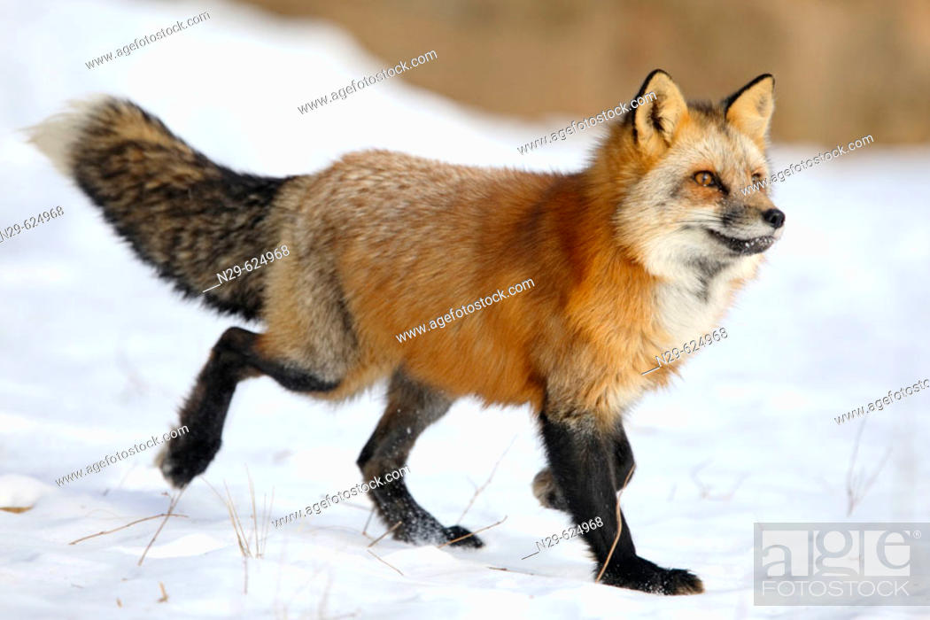 Red Foxes Vulpes Vulpes In A Game Farm Minnesota Usa Stock Photo Picture And Rights Managed Image Pic N29 624968 Agefotostock