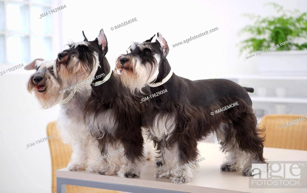 Stock Photo: Miniature Schnauzers standing at edge of table, side view.