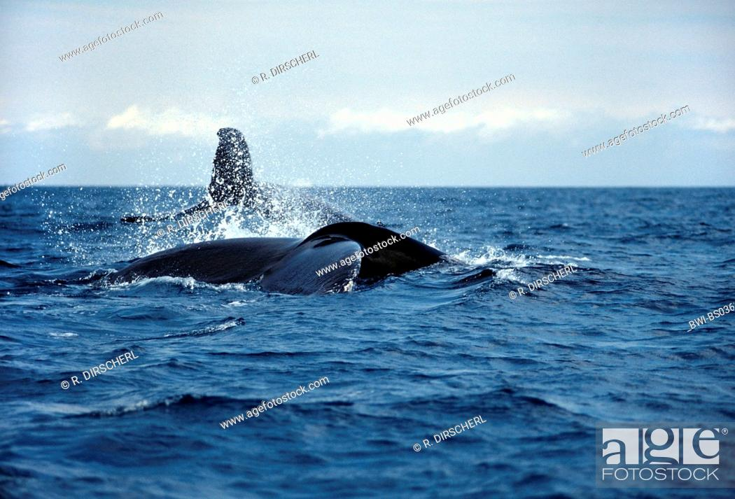 Stock Photo: humpback whale (Megaptera novaeangliae), fluke, Dominican Republic, Caribbean Sea.