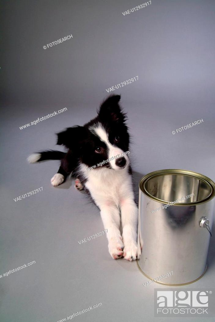 Stock Photo: faithful, domestic animal, companion, canine, close up, border collie.